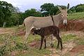 Burro (fêmea) com filhote - REFON.jpg