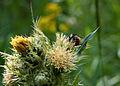Busy bee (3805112905).jpg