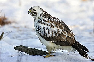 Common buzzard - A pale individual of buzzard in Europe.
