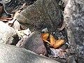 Butterfly-1-mundanthurai-tirunelveli-India.jpg