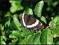 Butterfly (2925877124).jpg