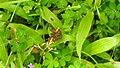 Butterfly from Madayipara DSCN2257.jpg