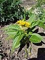 Célosia cristata plante jaune 1.JPG
