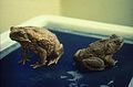 CSIRO ScienceImage 1085 Cane toads.jpg