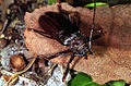 CSIRO ScienceImage 187 Paroplites australis Beetle.jpg