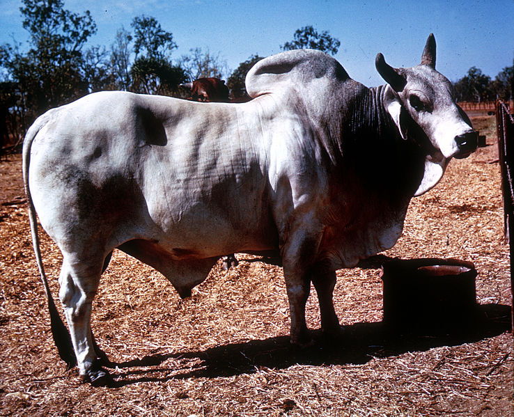 File:CSIRO ScienceImage 2643 A Brahman Bull.jpg