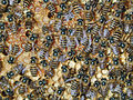 CSIRO ScienceImage 3651 Worker Asian honeybees Apis cerana.jpg