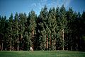 CSIRO ScienceImage 714 Eucalyptus Globulus Plantation Australia.jpg