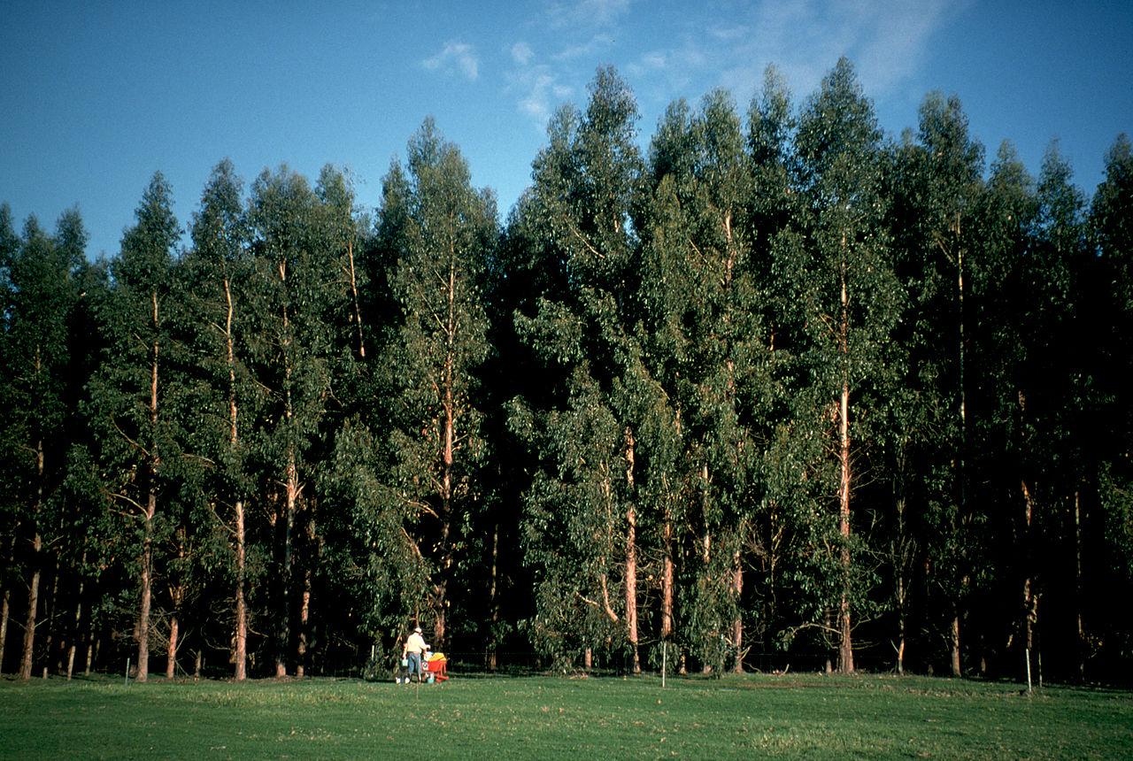 Resultado de imagen de eucalyptus globulus