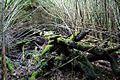 Caña Colihue (Chusquea culeou).jpg