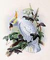 Cacatua sulphurea citrinocristata 1876.jpg