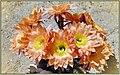 Cactus Blooms (212746879).jpeg