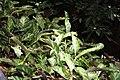 Calathea louisae 5zz.jpg