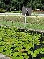 Caldesia parnassiifolia1.jpg
