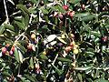 Calenzana olives sabine.jpg