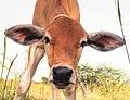 Calf still in fields (cropped).jpg