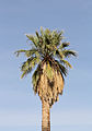 California fan palm 02.jpg