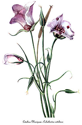 Calochortus catalinae, by Mary Vaux Walcott.jpg