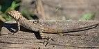 Calotes versicolor (Oriental garden lizard) 2.jpg