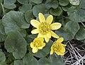 Caltha palustris - Marsh marigold 02.jpg