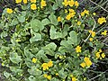 Caltha palustris Marsh-marigold kingcup (bekkeblom soleihov) wetland brook (våtmark bekk) Pirane, Hvasser, Oslofjorden, Norway 2021-05-13 IMG 9464.jpg