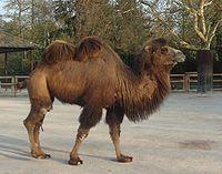 A Bactrian Camel in Frankfurt Zoo