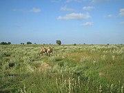 Camels in the grasslands.