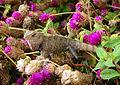 Camouflaged oriental garden lizard.jpg