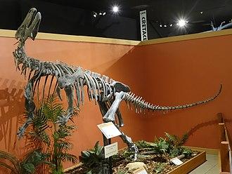 Iguanodontia - Skeletal mount of Camptosaurus at the Museum of Western Colorado's Dinosaur Journey Museum