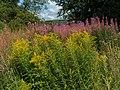 Canadian Goldenrod (Solidago canadensis) - geograph.org.uk - 1456832.jpg