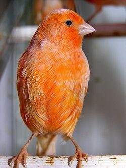 El canario doméstico 250px-Canario_paxaro