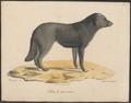 Canis lupus familiaris - 1818-1842 - Print - Iconographia Zoologica - Special Collections University of Amsterdam - UBA01 IZ22300105.tif