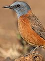 Cape Rock Thrush, Monticola rupestris, at Walter Sisulu National Botanical Garden, Gauteng, South Africa (28788527333).jpg