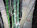 Capparis arborea RBG Sydney.jpg
