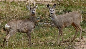 Roe deer - Male (buck) and female (doe) roe deer