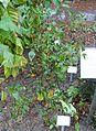 Capsicum baccatum - Botanischer Garten - Heidelberg, Germany - DSC00836.jpg