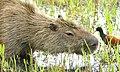 Capybara (Hydrochoerus hydrochaeris) grazing.jpg