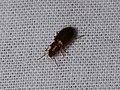 Carabidae sp. (42040943300).jpg