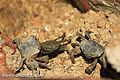 Caranguejos no Arroio de Maldonado (8452854661).jpg