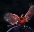 Cardinal (6027046409).jpg