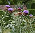 Cardueae West Garden Hatfield House Hertfordshire England.jpg