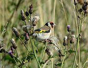 A Goldfinch feeding on Creeping Thistle seeds