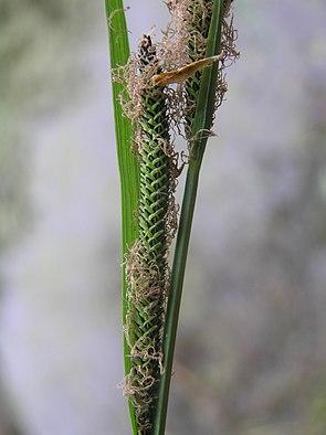 Carex buekii3.JPG