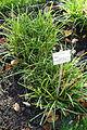 Carex flacca - Botanischer Garten Braunschweig - Braunschweig, Germany - DSC04389.JPG