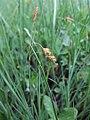 Carex limosa inflorescens (19).jpg
