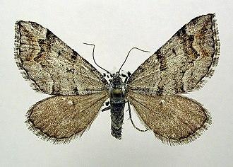 Carsia sororiata - Image: Carsia sororiata
