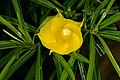 Cascabela thevetia 1DS-II 1-2476.jpg