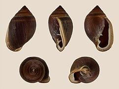 Cassidula aurisfelis 01.JPG