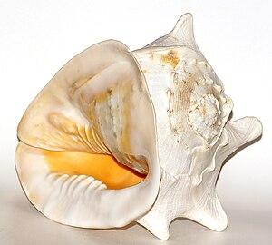 Cassis cornuta - A shell of Cassis cornuta