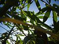 Castor plant (4869423824).jpg